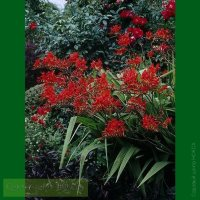Crocosmia Lucifer   Крокосмия Люцифер