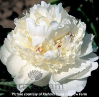 Paeonia Bridal Grace Пион Брайдал Грэйс
