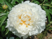 Paeonia Bowl of Cream  Пион Боул оф Крим