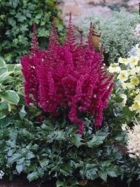 Astilbe Visions in Red  Астильба Вижнс ин Ред