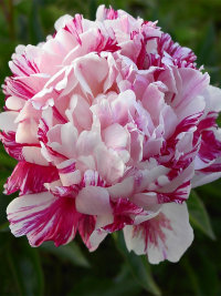 Paeonia Candy Stripe Пион Кенди Страйп