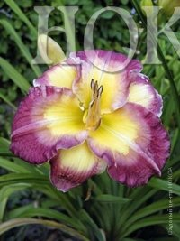 Hemerocallis Cheese and Wine Лилейник Чииз энд Вайн