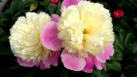 Paeonia Touch of Class Пион Тач оф Класс
