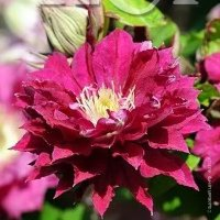 Clematis Red Star Клематис Рэд Стар