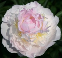 Paeonia Blush Queen  Пион Блаш Квин