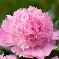 Paeonia Angel Cheeks  Пион Анжел Чикс  Осень 2020
