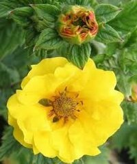 Potentilla Mont D Or Лапчатка Монт дОр