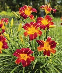 Hemerocallis EveryDaylily Red Ribs Лилейник Эври Дэйлили Ред Рибс