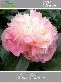 Paeonia Lois Choice   Пион Лоис Чойс Осень 2021