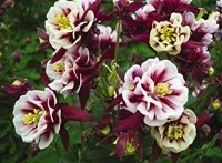 Aquilegia Winky Red White  Аквилегия Винки Ред Вайт