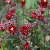 Aquilegia Ruby Port  Аквилегия Руби Порт